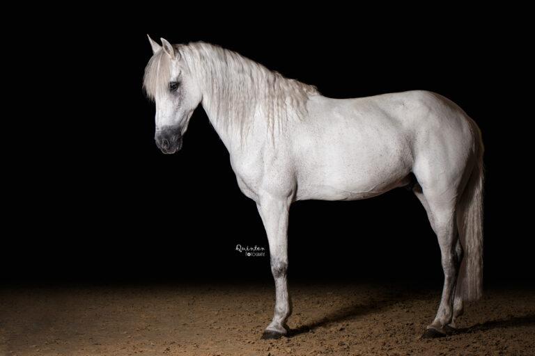 Paardenfotografie studio - fotoshoot